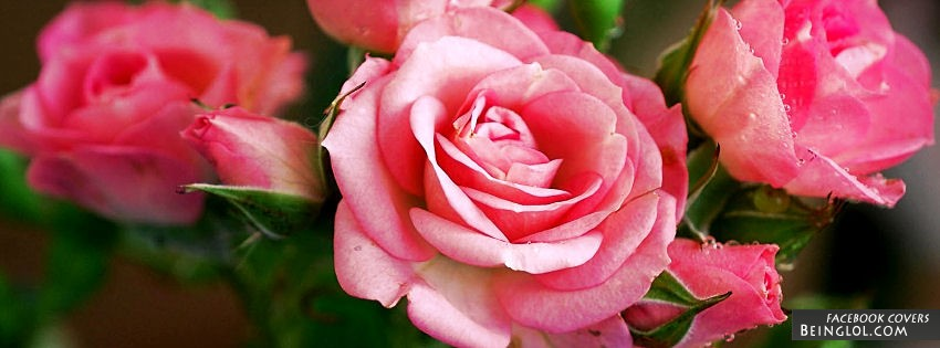 Blooming Pink Rose