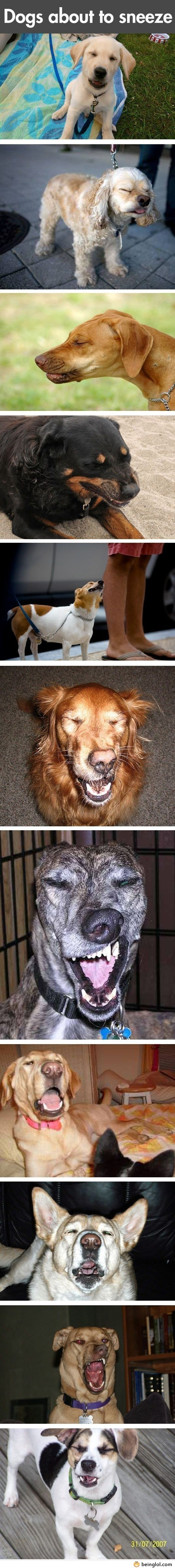 Funny Dogs About to Sneeze