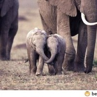 Baby Elephants Holding Each Others Trunks